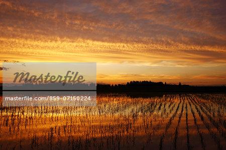 Rice Field And Sunset, Saitama, Japan