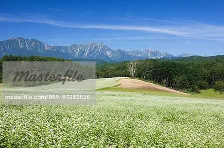 Buckwheat Field And North Alps, Nagano, Japan