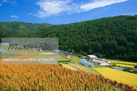 Amaranthus, Nagano, Japan