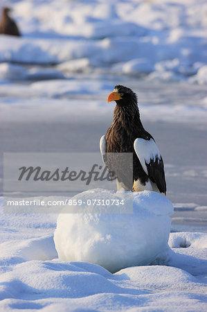 Eagle, Hokkaido