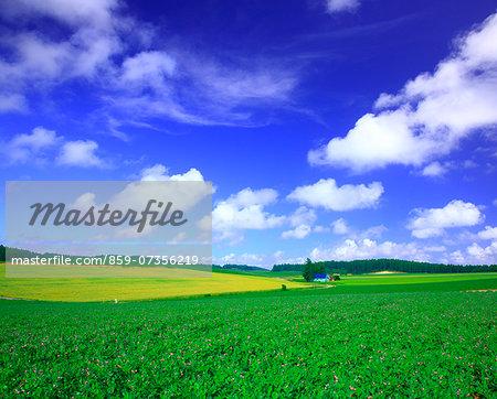 potato fields, Hokkaido, Japan