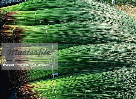 Onions, Kumamoto Prefecture