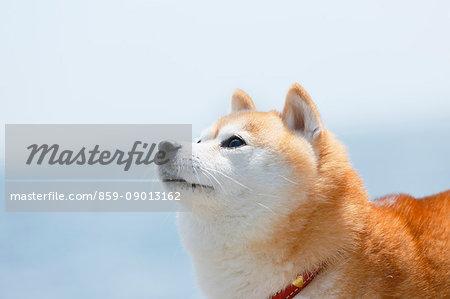 Shiba inu dog on the beach