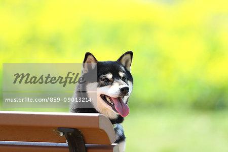 Shiba inu dog on a bench