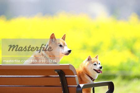 Shiba inu dogs on a bench