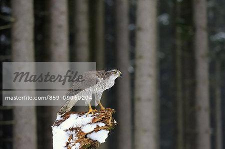 Northern Goshawk, (Accipiter gentilis), adult in winter in snow on branch alert, Zdarske Vrchy, Bohemian-Moravian Highlands, Czech Republic