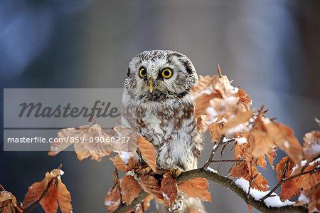 Boreal Owl, (Aegolius funereus), adult on tree in alert, Zdarske Vrchy, Bohemian-Moravian Highlands, Czech Republic