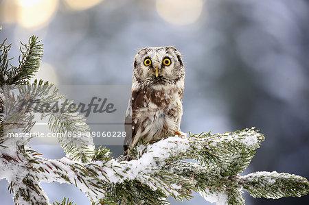 Boreal Owl, (Aegolius funereus), adult on tree in snow, in winter alert, Zdarske Vrchy, Bohemian-Moravian Highlands, Czech Republic