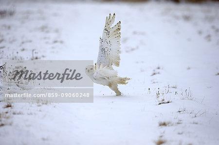 Snowy Owl, (Nyctea scandiaca), adult in snow starts flying, in winter, Zdarske Vrchy, Bohemian-Moravian Highlands, Czech Republic