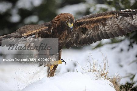 Golden Eagle, (Aquila chrysaetos), adult in snow starts flying, in winter, Zdarske Vrchy, Bohemian-Moravian Highlands, Czech Republic