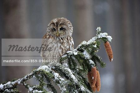 Tawny Owl, (Strix aluco), adult on branch in winter, Zdarske Vrchy, Bohemian-Moravian Highlands, Czech Republic