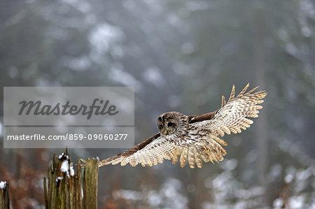 Tawny Owl, (Strix aluco), adult landing on branch in winter, Zdarske Vrchy, Bohemian-Moravian Highlands, Czech Republic