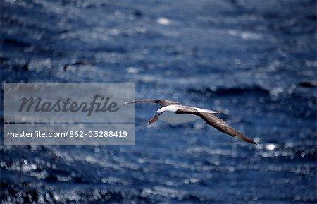 Black-browed albatross (diomedia melanophris).