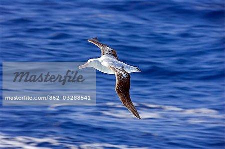 Antarctica,Antarctic Peninsula,a Royal Albatross (Diomedea epomophora) in flight over sunny seas