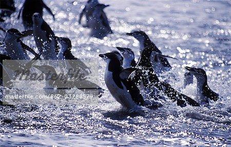 Chinstrap penguins (Pygoscelis antarctica) exiting sea at Baily Head