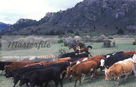 A huaso driving cattle,Los Vertintes Farm