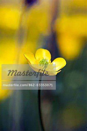 Buttercup,Ranunculus