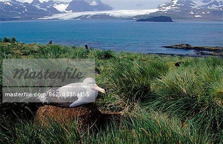 Wandering albatross (Diomedia exulans) on nest.