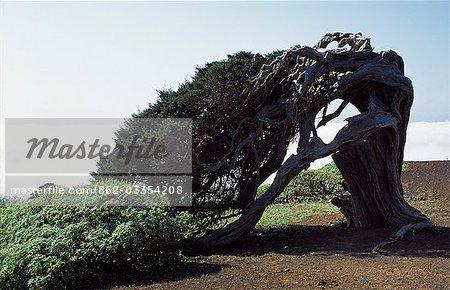 The twisted trunk of an old juniper tree known as El Sabinar,near the Church of Senora de los Reyes.