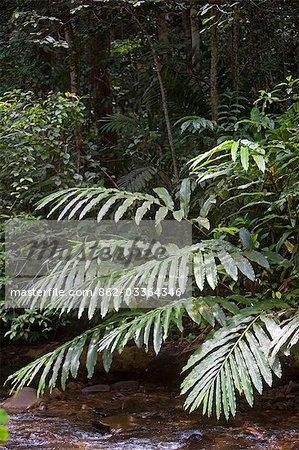 Rainforest ferns over mountain stream in the Crocker Range of Mountains,Sabah,Borneo