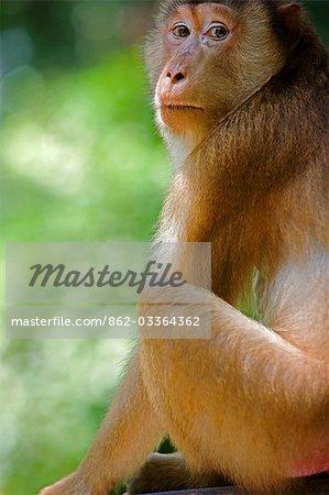 Malaysia,Borneo,Sabah,Sandakan. A monkey in the rainforest at the Sepilok Orangutan Sanctuary