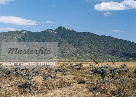 Masai giraffes in the Masai Mara Game Reserve.