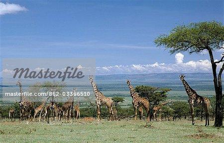 A large herd of Masai giraffes in the Masai Mara Game Reserve.