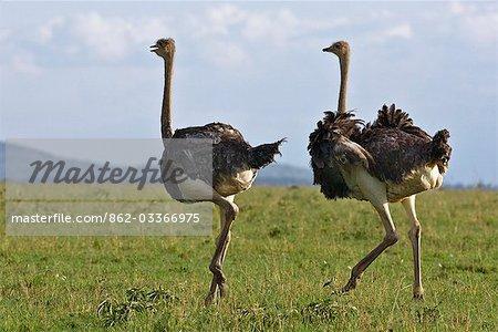 Kenya,Narok district,Masai Mara. Two Maasai ostrich hens in Masai Mara National Reserve.