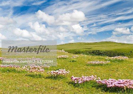 Sea pinks, Isle of Lewis, Hebrides, Scotland, UK
