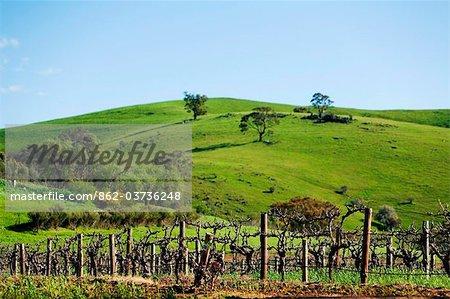 Australia, South Australia, Barossa Valley.  Vineyard grape vines.