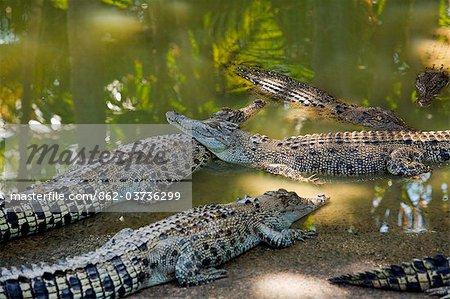 Australia, Northern Territory, Darwin.  Crocodiles at Crocodylus Wildlife Park.