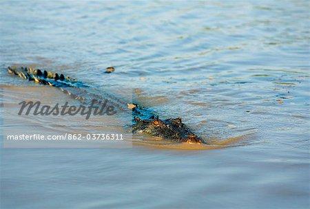 Australia, Northern Territory, Kakadu National Park.  Saltwater crocodile (Crocodylus porosus) in the Adelaide River.