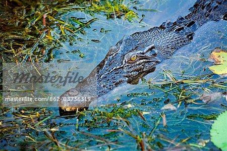 Australia, Northern Territory, Kakadu National Park, Cooinda. Saltwater/ estuarine crocodile in the Yellow Water Wetlands.