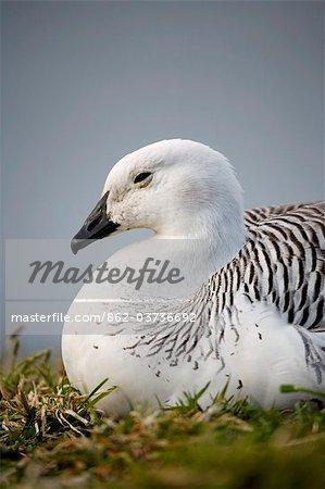 Falkland Islands, Stanley. Male upland goose (Chloephaga picta leucoptera).