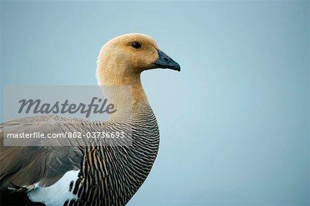Falkland Islands, Stanley. Female upland goose (Chloephaga picta leucoptera).