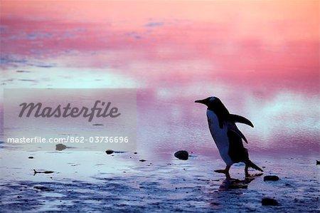 Falkland Islands. Gentoo penguns (Pygoscelis papua) on 'penguin highway' between sea and rookery at Bluff Cove.