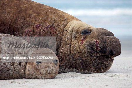 Falkland Islands, Sea Lion Island. Male and female elephant seal hauled out on beach.