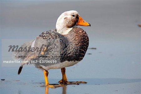 Falkland Islands; Sea Lion Island. Male flightless steamer duck.