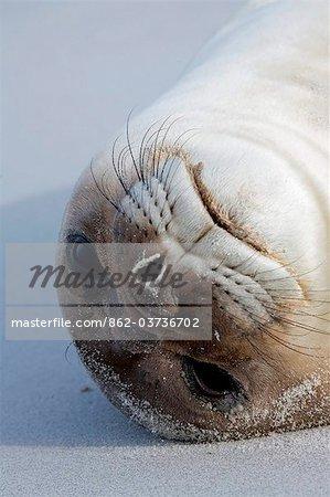 Falkland Islands, Sea Lion Island. Portrait of elephant seal pup lying on beach.