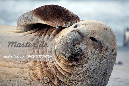 Falkland Islands, Sea Lion Island. Male elephant seal scratching its head.