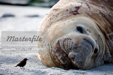 Falkland Islands, Sea Lion Island. Tussac bird approaching a male elephant seal hauled out on the beach.