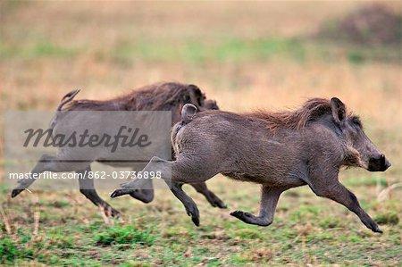 Kenya. Warthogs running across the grass plains of Masai Mara National Reserve.
