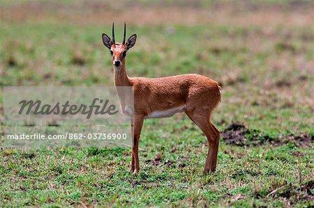 Kenya. An oribi in Masai Mara National Reserve.