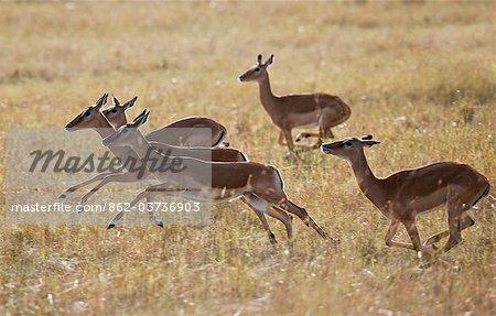 Kenya. Female impalas running across the plains in Masai Mara National Reserve.