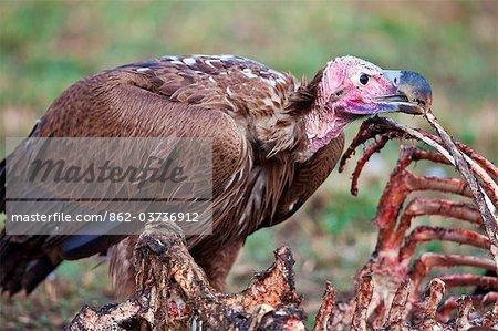 Kenya. A lappet-faced vulture feeds on a wildebeest carcass in Masai Mara National Reserve.
