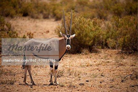 Kenya, Samburu National Reserve.  An oryx (Oryx beisa) in the Samburu National Reserve, Northern Kenya.