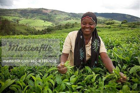 Burundi. A lady picks tea on a large tea estate.