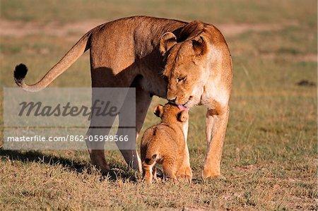 Lioness greets her six-week-old cub in the Ndutu region of Serengeti National Park, Tanzania.