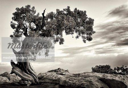 U.S.A., Utah, Dead Horse State Park, Juniper Tree.