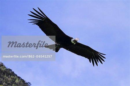 Wild Andean condor in flight at the Condor Huasi rehabilitation project, Hacienda Zuleta, Ecuador